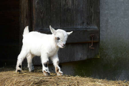 baby goat: Goat kid standing on straw Stock Photo