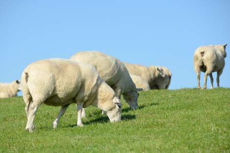 dike: herd of sheep on the dike Stock Photo