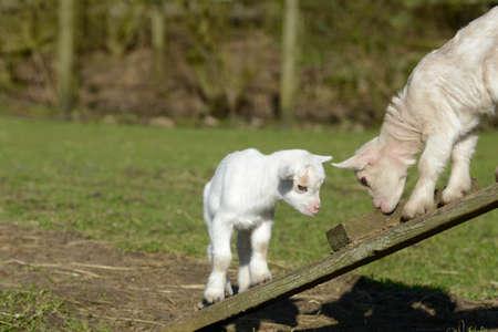 hircus: goat kids climb Stock Photo
