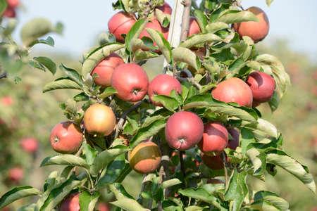 arbol de manzanas: las manzanas rojas que cuelgan en el �rbol de manzana Foto de archivo