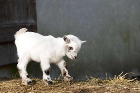 hircus: Goat kid standing on straw Stock Photo