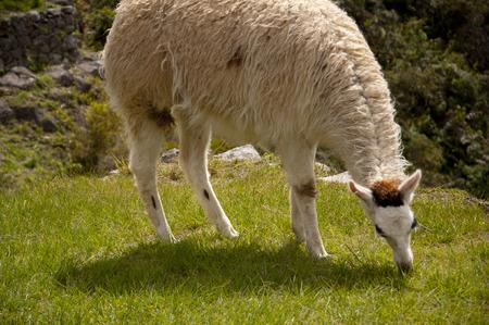 machu picchu: Lama in Machu Picchu ruins