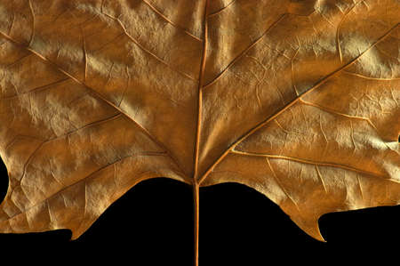 Autumn large leaf for background or as decoration with black background.