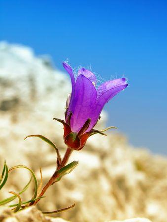 Violet Trumphet Blume  Standard-Bild