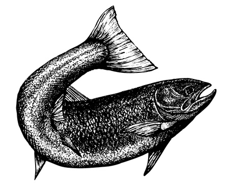 salmon fishing: highly detailed sketch of a salmon with the tail curved