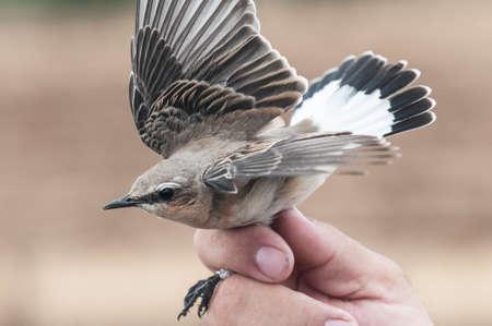 banding: Oenanthe Oenanthe bird banding in Lantejuela Spain Stock Photo