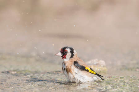 Goldfinch Carduelis in natural sprue photo