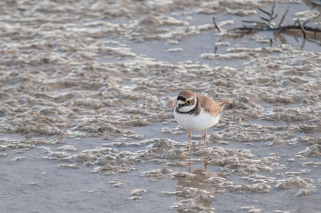 elliot: Plover eating on the banks of a pond