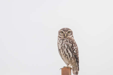 European owl perched on wooden pole isolated photo