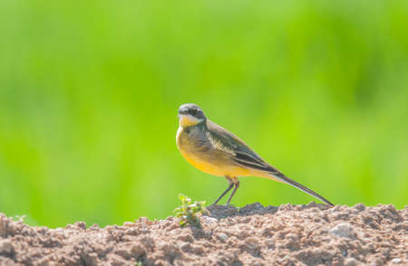 Yellow wagtail perched on land and green background photo