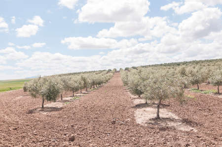 olive grove on a sunny day photo