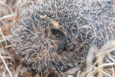 Common wild hedgehog curled in Andalucia Spain photo