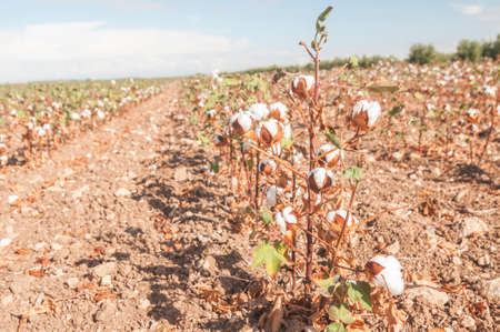 cotton ball: Flowering plants to harvest cotton Stock Photo
