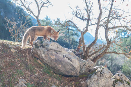 dodgy: Red fox in National Park Sierra de Cazorla Jaen Spain