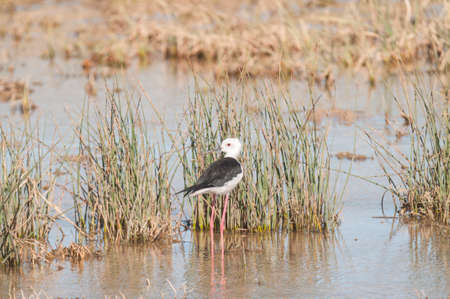 winged: Black winged Stilt lagoon Marchena Andalusia Spain