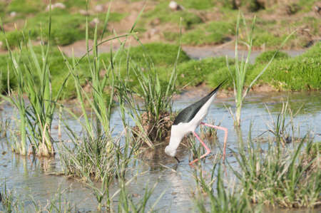 black winged stilt: Black winged Stilt lagoon Marchena Andalusia Spain
