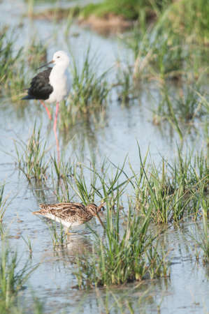 black winged stilt: Black winged Stilt and Snipe Stock Photo