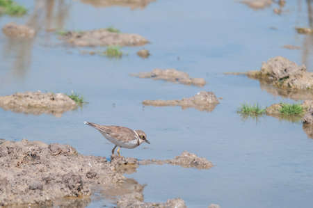 plover: Plover pools of Marchena Andalucia Spain