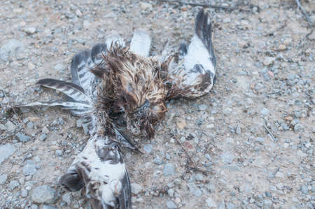 raptor: Decaying corpse Buzzard raptor Stock Photo