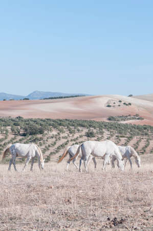 grazing land: Spanish horses grazing on land thrushes Andalusia