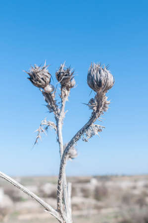 thistle plant: dry thistle plant with snail