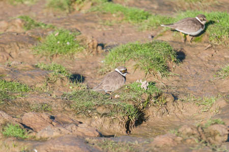 plover: Ringed Plover feeding on Marchena Andalucia Spain Lagoon