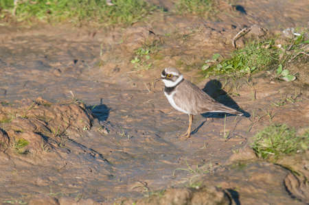 ringed: Ringed Plover feeding on Marchena Andalucia Spain Lagoon
