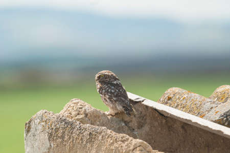 burrowing: Owl perched on ruins with backscatter Stock Photo