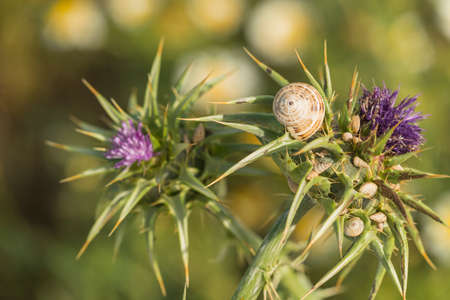 thistle: Snails on thistle with blurred background