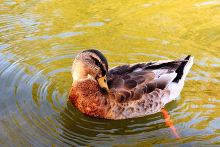 beautify: Mallard in the water to beautify their feathers. Stock Photo