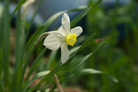 jonquil: Lovely field with bright yellow and white daffodils (Narcissus). Shallow dof and natural light.