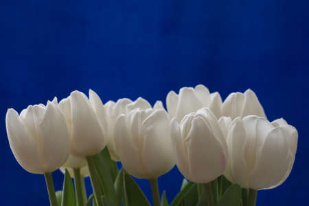 Bouqet of white tulips on blue background. Spring composition Stock Photo