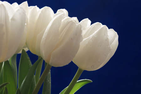 Bouqet of white tulips with drops on blue background. Spring composition