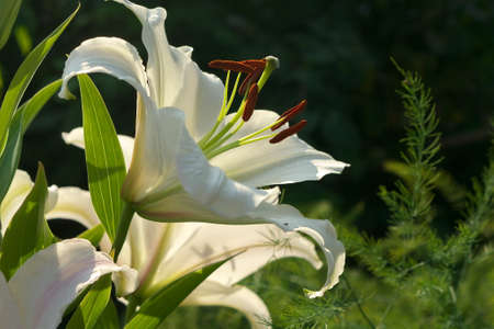 Closeup orange white Lily flowers in a garden, Macro shot, Pistil and stamen and bud Stock Photo