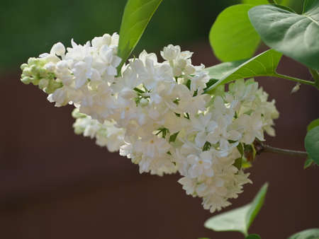 white lilac flowers with buds for a background spring garden