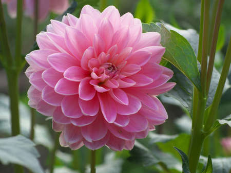 Pink dahlia Flower on the natural background, closeup photo.