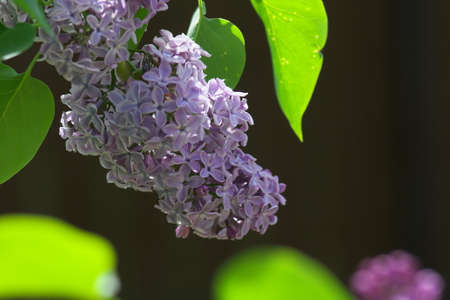 Sweet violet Lilac flowers on the green background. Sweet Lilac. Lilac flowers. Green branch with spring lilac flowers.