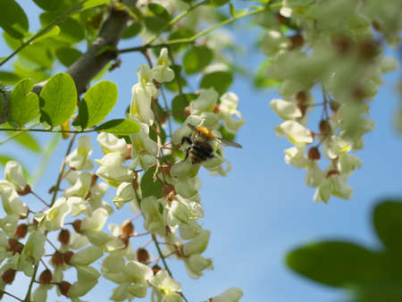 honey bee collects nectar on the white flower of acacia, bee pollinates the acacia flower, closeup.