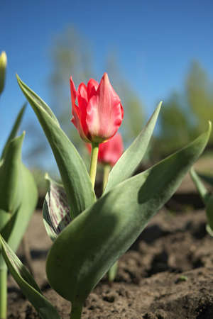 holland: Beautiful red tulips in spring garden bed
