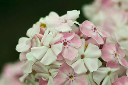 background with Blooming pink Phlox paniculata, Polemoniaceae. Stock Photo