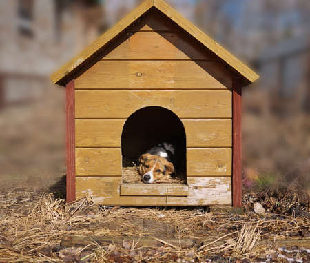 tethered: Mixed breed dog watching out of his kennel, guards yard biside doghouse. Stock Photo