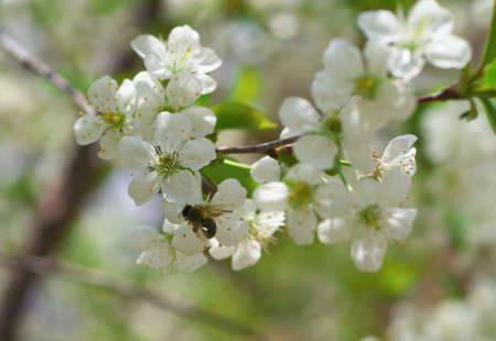 Honey Bee harvesting pollen from Cherry Blossom,bee collecting nectar from white cherry flower.