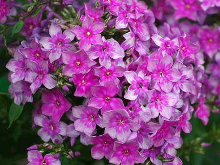 background with Blooming lilac flower Phlox paniculata, Polemoniaceae.