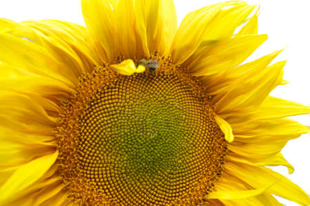 close up of bee Collects nectar on sunflower sumer sunny day, isolated
