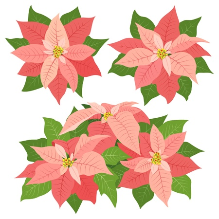 Pink poinsettia flowers for christmas decorations on white background Vector