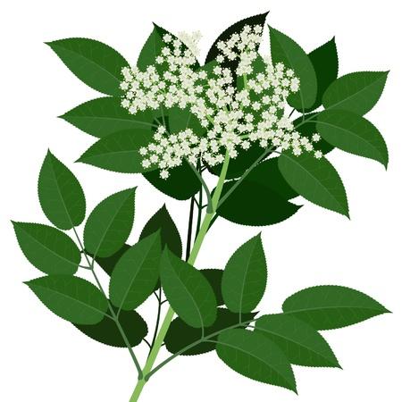 elder: Elderflower branch  with leaves isolated on white background