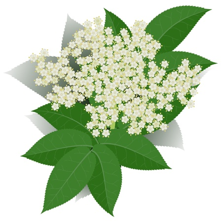 Elderflower with leaves isolated on white background