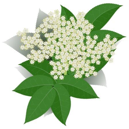 Fiori di sambuco con foglie isolato su sfondo bianco