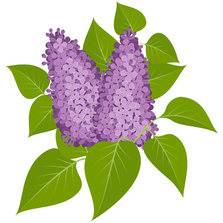 panicle: Purple lilacs with leaves isolated on white background Illustration