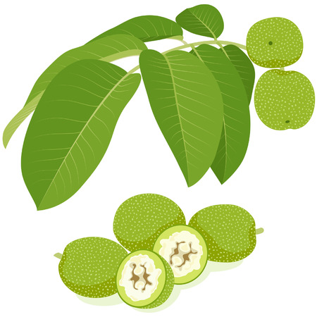 immature: Green walnuts with leaves, isolated on white background